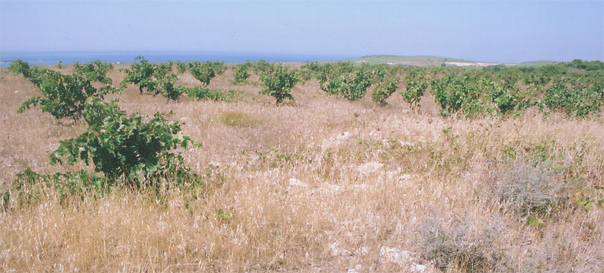 Vineyards on Bozcaada (Tenedos).